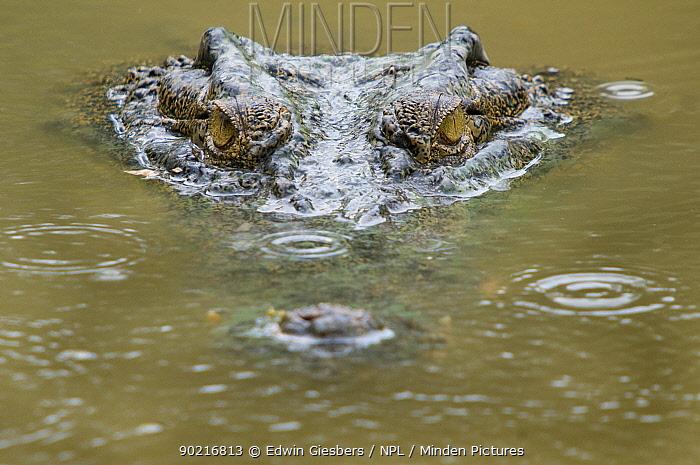 Saltwater crocodile (Crocodylus porosus) partially submerged head, with ripples on water from raindrops, Sarawak, Borneo, Malaysia  -  Edwin Giesbers/ npl