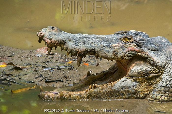 Saltwater crocodile (Crocodylus porosus) head portrait in water, with mouth open, Sarawak, Borneo, Malaysia  -  Edwin Giesbers/ npl