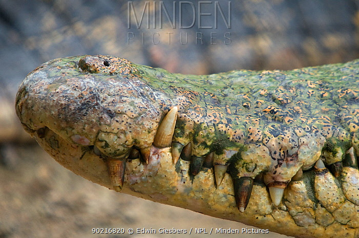 Saltwater crocodile (Crocodylus porosus) close-up of snout and teeth, Sarawak Borneo, Malaysia  -  Edwin Giesbers/ npl