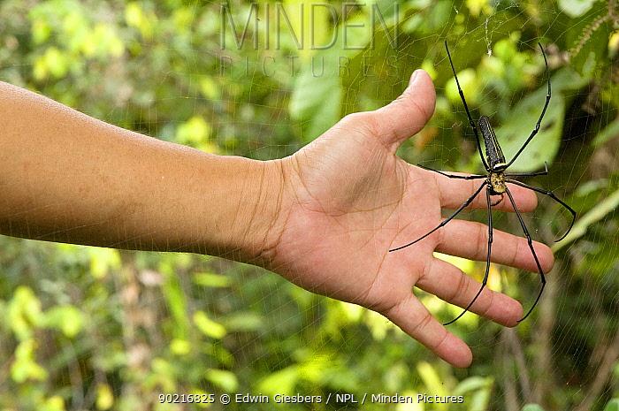Giant wood, Golden orb spider (Nephila pilipes) with hand to illustrate scale, Sarawak, Borneo, Malaysia  -  Edwin Giesbers/ npl