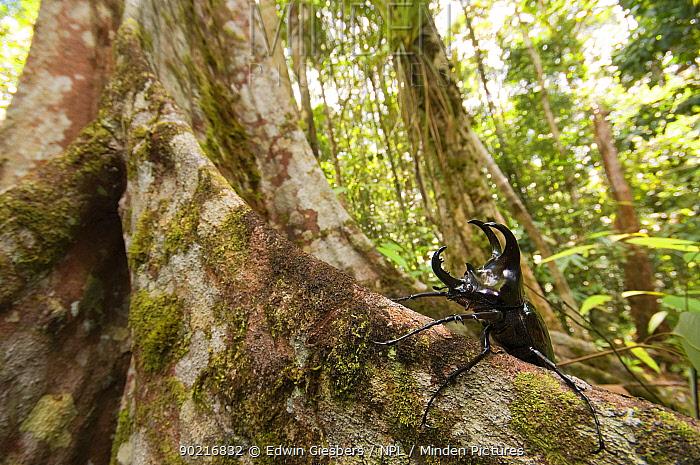Three-horned Rhinoceros beetle (Chalcosoma mollenkampi) on buttress root, Kubah National park, Sarawak, Borneo, Malaysia  -  Edwin Giesbers/ npl