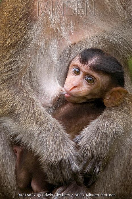Long-tailed, Crab-eating macaque (Macaca fascicularis) mother with suckling young, Bako National Park, Sarawak, Borneo, Malaysia  -  Edwin Giesbers/ npl