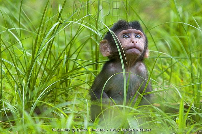 Long-tailed, Crab-eating macaque (Macaca fascicularis) portrait of baby sitting in long grass, Bako National Park, Sarawak, Borneo, Malaysia  -  Edwin Giesbers/ npl