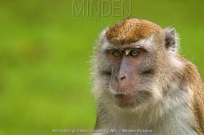 Long-tailed, Crab-eating macaque (Macaca fascicularis) head portrait, Bako National Park, Sarawak, Borneo, Malaysia  -  Edwin Giesbers/ npl
