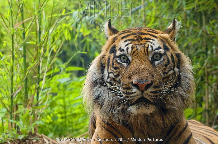 Sumatran tiger (Panthera tigris sumatrae) head portrait of elderly male, captive  -  Edwin Giesbers/ npl