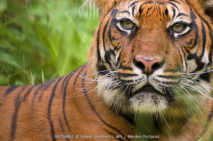 Sumatran tiger (Panthera tigris sumatrae) head portrait, captive  -  Edwin Giesbers/ npl
