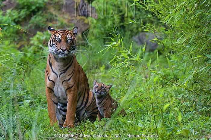 Sumatran tiger (Panthera tigris sumatrae) mother sitting with her cub aged two months, captive  -  Edwin Giesbers/ npl