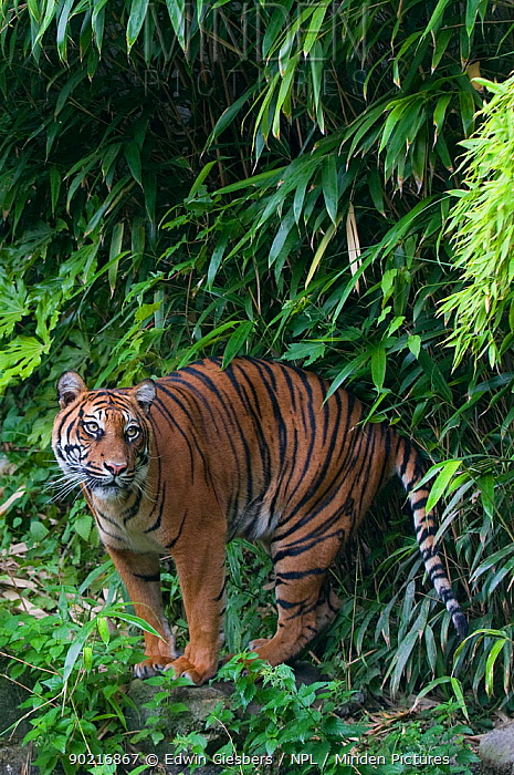 Sumatran tiger (Panthera tigris sumatrae) standing near water and bamboo vegetation, captive  -  Edwin Giesbers/ npl