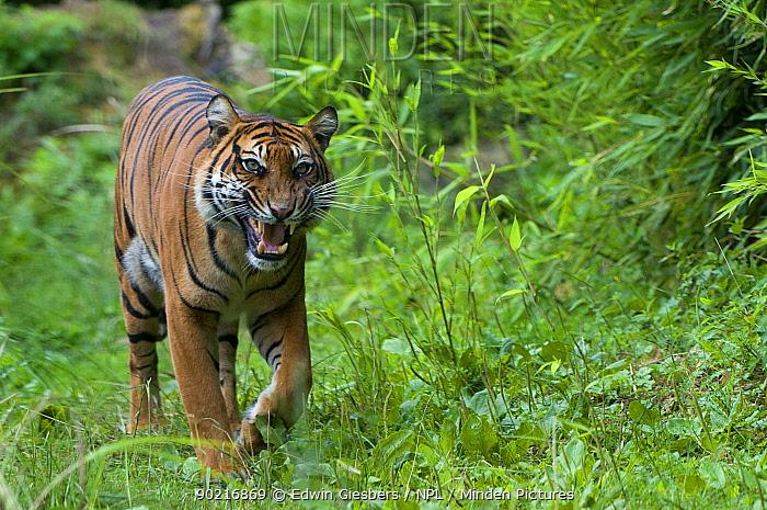Sumatran tiger (Panthera tigris sumatrae) walking, and baring teeth in aggresive display, captive  -  Edwin Giesbers/ npl