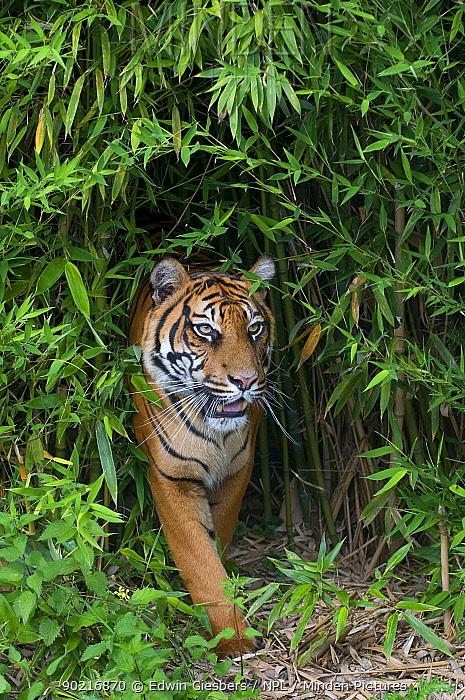 Sumatran tiger (Panthera tigris sumatrae) walking in bamboo vegetation, captive  -  Edwin Giesbers/ npl