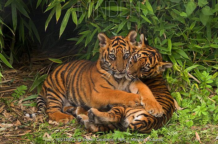 Sumatran tiger (Panthera tigris sumatrae) two cubs lying down together, aged three months, captive  -  Edwin Giesbers/ npl