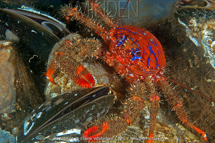 Spiny squat lobster (Galalthea strigosa) eating common mussel (Mytilus edulus) on common mussel bed Loch Fyne, Scotland  -  Elaine Whiteford/ npl