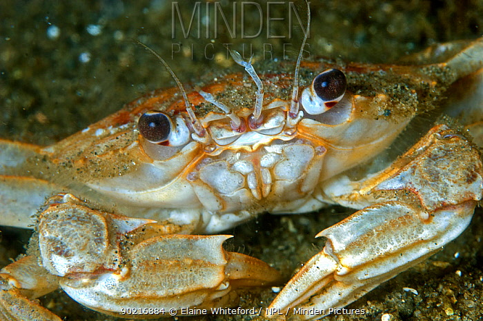 Portrait of Harbour, swimming crab (Liocarcinus depurator) in Loch Long, Scotland  -  Elaine Whiteford/ npl