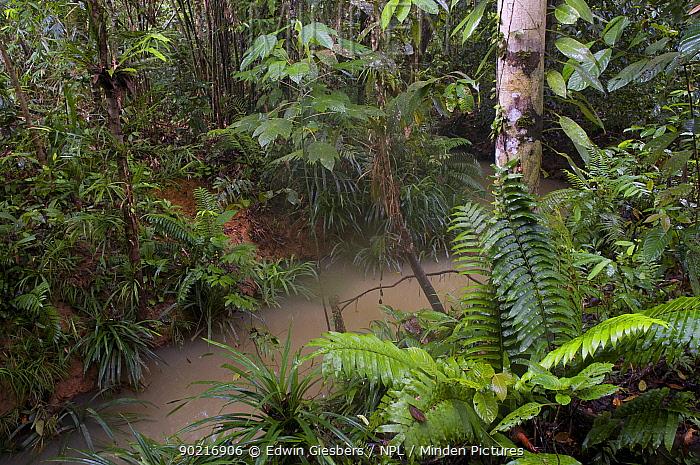 Rainforest stream, Kubah National Park, Sarawak, Borneo, Malaysia  -  Edwin Giesbers/ npl