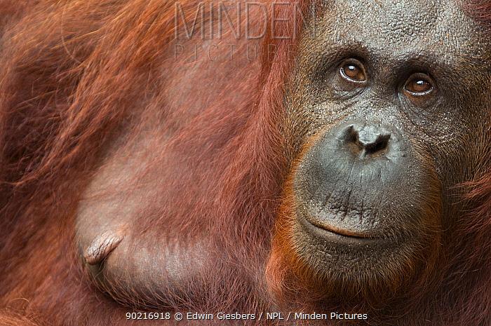 Orang utan (Pongo pygmaeus) head portrait of female, Semengoh Nature reserve, Sarawak, Borneo, Malaysia, Sarawak, Borneo, Malaysia, Endangered  -  Edwin Giesbers/ npl