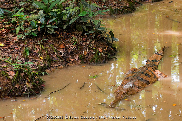 False Gharial (Tomistoma schlegelli) in shallow water Endangered, captive Found in Sarawak, Borneo, Malaysia  -  Edwin Giesbers/ npl