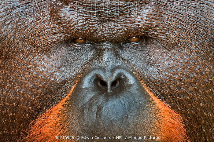 Orang utan (Pongo pygmaeus) close up face portrait of dominant male called Aman He is the first orangutan in the world to have had his cataracts operated on and his eye sight restored Matang wildlife centre, Sarawak, Borneo, Malaysia, June 2010 Endangered  -  Edwin Giesbers/ npl