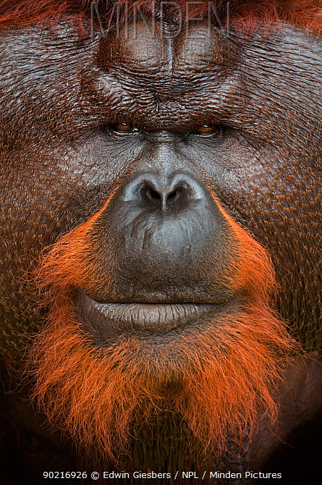 Orang utan (Pongo pygmaeus) head portrait of dominant male called Aman He is the first orangutan in the world to have had his cataracts operated on and his eye sight restored Matang wildlife centre, Sarawak, Borneo, Malaysia, June 2010 Endangered  -  Edwin Giesbers/ npl