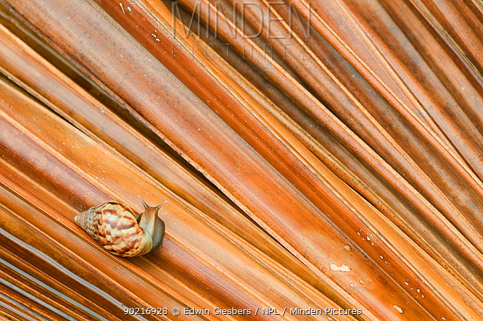 Giant African land snail (Achatina fulica) camouflaged on palm frond, Sarawak, Borneo, Malaysia  -  Edwin Giesbers/ npl