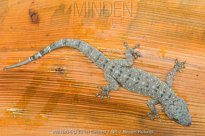 Gecko (Hemidactylus sp) on dried leaf, Bako National Park, Sarawak, Borneo, Malaysia  -  Edwin Giesbers/ npl