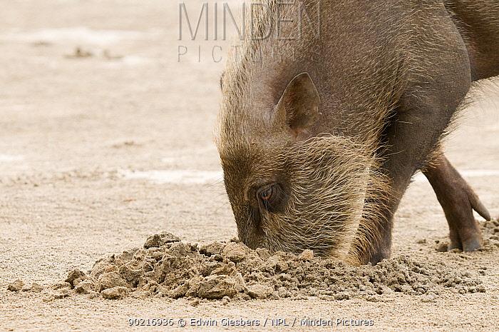 Bearded pig (Sus barbatus) digging for food on beach, Bako National Park, Sarawak, Borneo, Malaysia  -  Edwin Giesbers/ npl