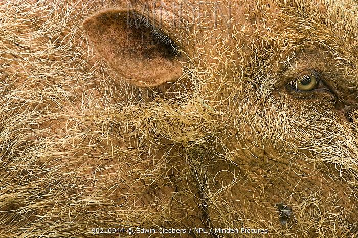 Bearded pig (Sus barbatus) close-up of eye and ear, Bako National Park, Sarawak, Borneo, Malaysia  -  Edwin Giesbers/ npl