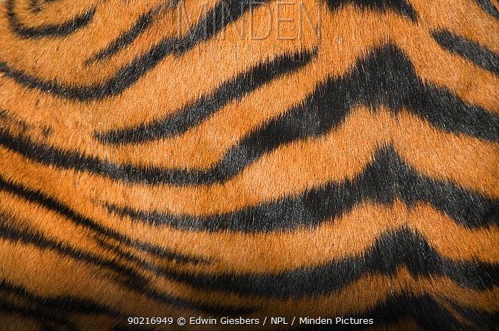 Sumatran tiger, (Panthera tigris sumatrae) close-up of fur on flank, captive  -  Edwin Giesbers/ npl