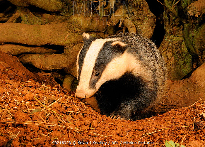 Badger (Meles meles) standing at entrance to sett, Mid Devon, England, October  -  Kevin J Keatley/ npl