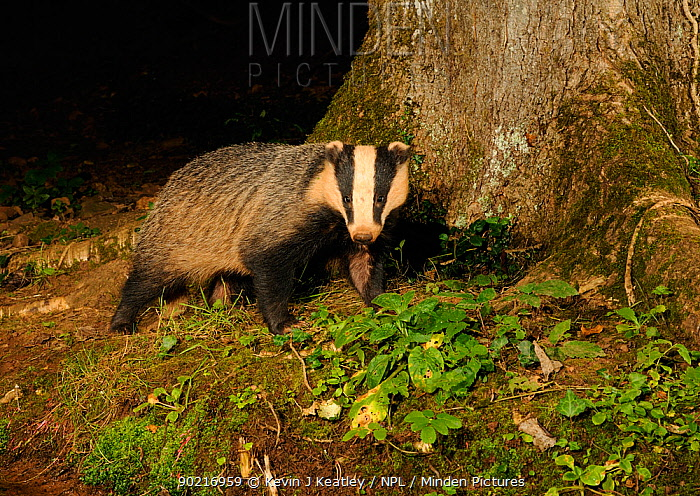 Badger (Meles meles) standing at base of tree at night, Mid Devon, England, August  -  Kevin J Keatley/ npl