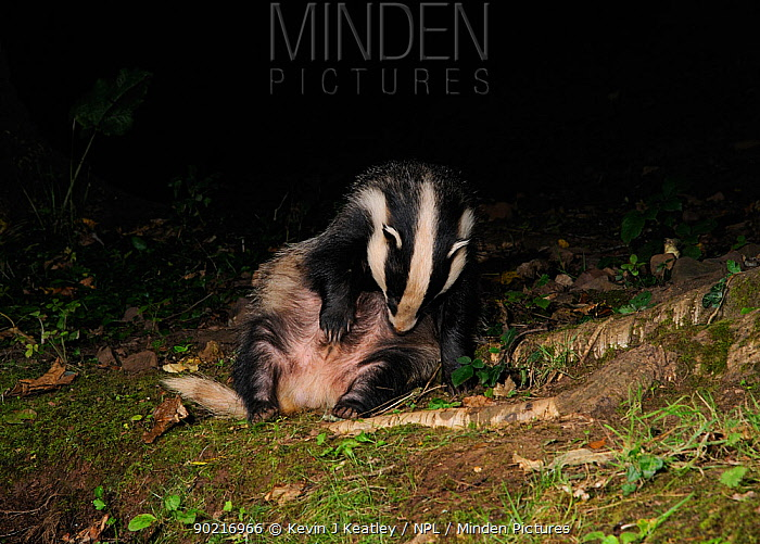 Badger (Meles meles) sitting and grooming, Mid Devon, England, September  -  Kevin J Keatley/ npl