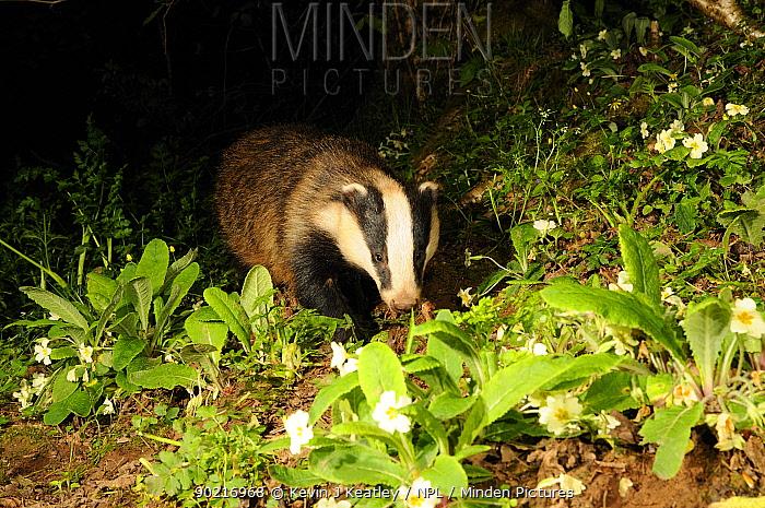 Badger (Meles meles) portrait, walking through flowering Primroses, Mid Devon, England, May  -  Kevin J Keatley/ npl