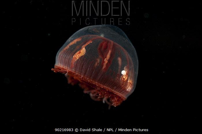 Deepsea Hydromedusa, Trachymedusa (Benthocodon sp) approx 2700m, Mid Atlantic ridge, June 2010  -  David Shale/ npl