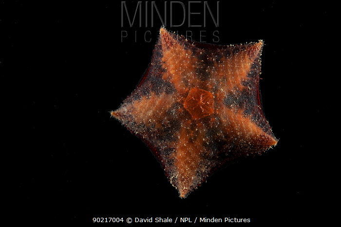 Deepsea benthic Asteroid, Seastar (Hymenaster sp) from mid atlantic ridge, approx 2500m, June 2010  -  David Shale/ npl