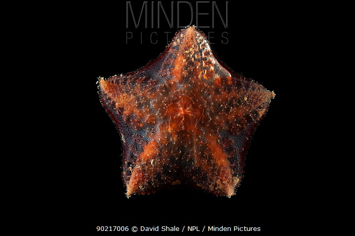 Ventral view of deepsea benthic Asteroid, Seastar (Hymenaster sp) from mid atlantic ridge, approx 2500m, June 2010  -  David Shale/ npl