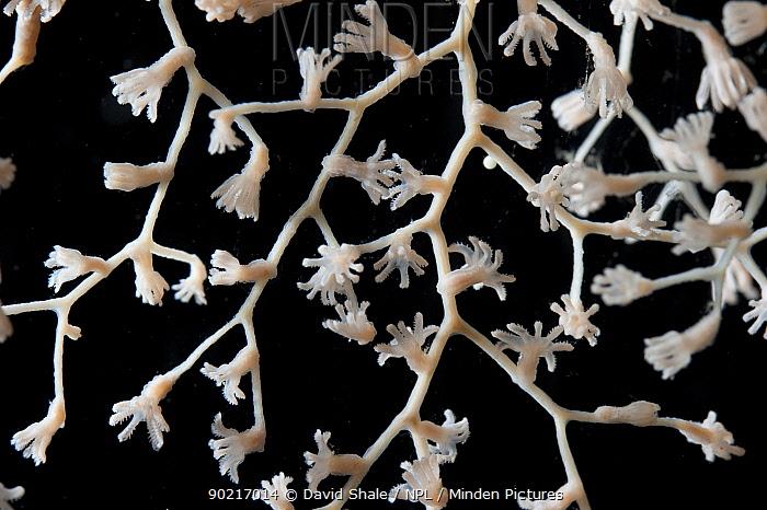 Deepsea Gorgonian coral (Metallogorgia sp) from mid atlantic ridge  -  David Shale/ npl