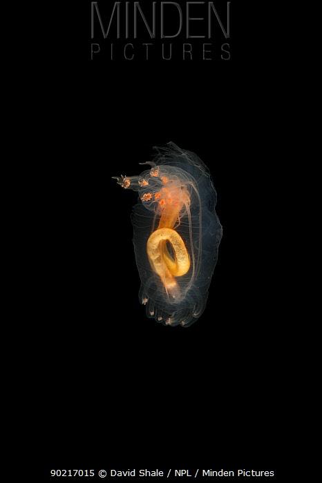 Deepsea benthic Sea cucumber (Peniagone diaphana ) from mid atlantic ridge, depth approx 2500m Specimen caught swimming above sea floor, June 2010  -  David Shale/ npl
