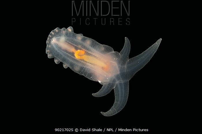 Deepsea benthic Sea cucumber (Peniagone porcella) from mid atlantic ridge, depth approx 2500m, June 2010  -  David Shale/ npl