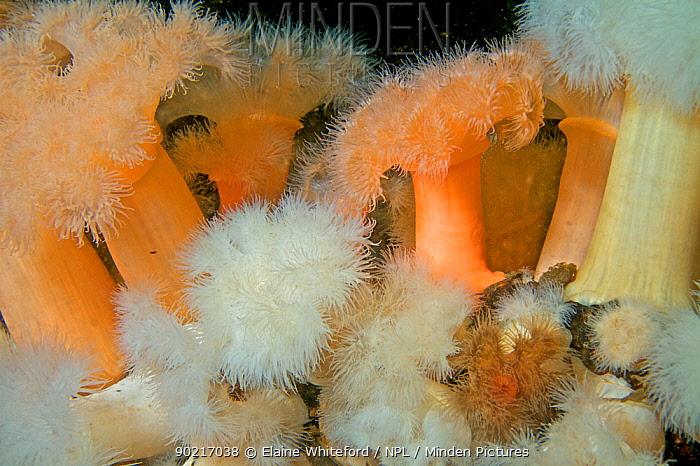 Orange and white Plumose anemones (Metridium senile) in Loch Long, Scotland  -  Elaine Whiteford/ npl