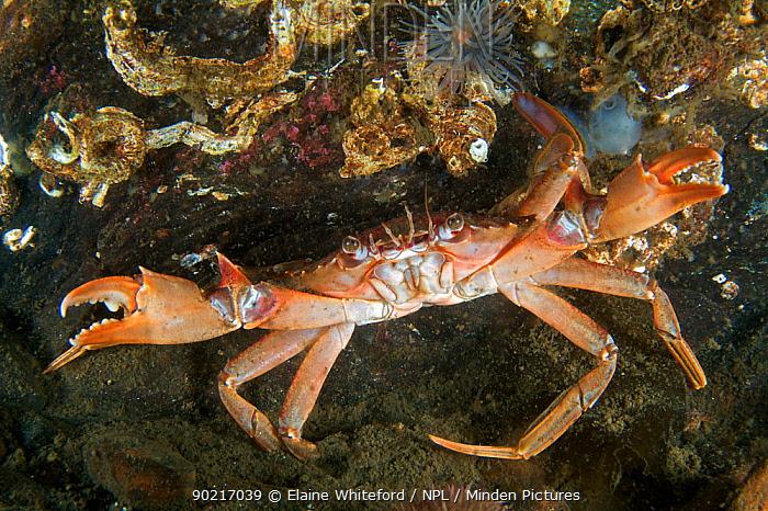Harbour, swimming crab (Liocarcinus depurator) raising its pincers when threatened Loch Long, Scotland  -  Elaine Whiteford/ npl