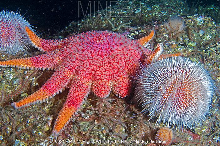 Common sunstar (Crossaster papposus) and Common sea urchin (Echinus esculentus) on rock in North Sea off St Abbs, Berwickshire, Scotland  -  Elaine Whiteford/ npl