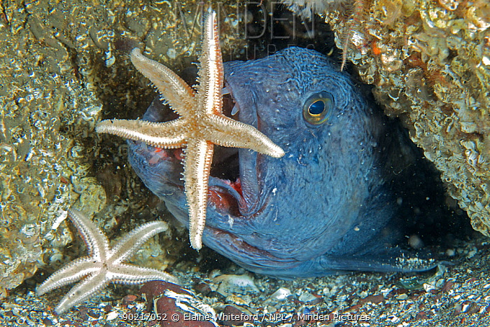 Wolffish (Anarhichas lupus) snatching a common starfish (Asterias rubens) from a rock in the North Sea off St Abbs, Berwickshire, Scotland  -  Elaine Whiteford/ npl