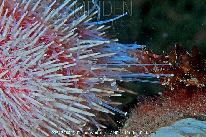 Close up of common sea urchin (Echinus esculentus) in the North Sea off St Abbs, Scotland  -  Elaine Whiteford/ npl