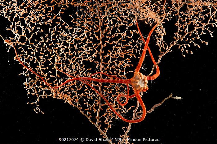 Brittlestar (Ophiuroidea) on Gorgonian seafan coral mid Atlantic Ridge, June 2010  -  David Shale/ npl
