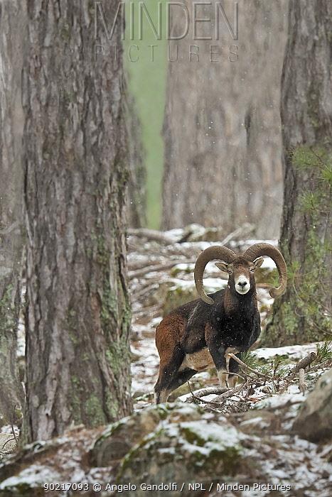 Mouflon ram (Ovis musimon) portrait, standing in forest, Foret de Valdu Niellu, Corte, Parc Naturel Regional de Corse, Corsica island, France, February  -  Angelo Gandolfi/ npl