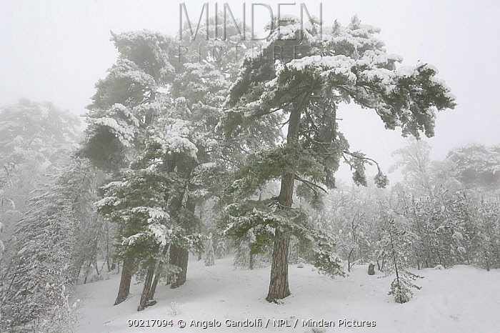 Corsican Black Pine (Pinus nigra laricio corsicanus) after heavy snowfall, Valdu-Niellu forest Parc Naturel Regional de Corse, Corsica island, France, January 2010  -  Angelo Gandolfi/ npl