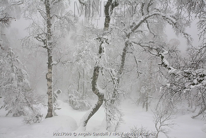 A stand of Silver Birch (Betula verrucosa) after heavy snowfall, Valdu-Niellu forest, Parc Naturel Regional de Corse, Corsica island, France, January 2010  -  Angelo Gandolfi/ npl