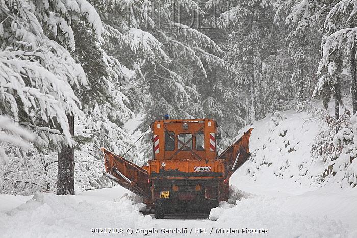 Snow plough clearing road, in the forest of Carrozzica, Haut Asco mountains Parc Naturel Regional de Corse, Calvi, Corsica island, France, February 2010  -  Angelo Gandolfi/ npl
