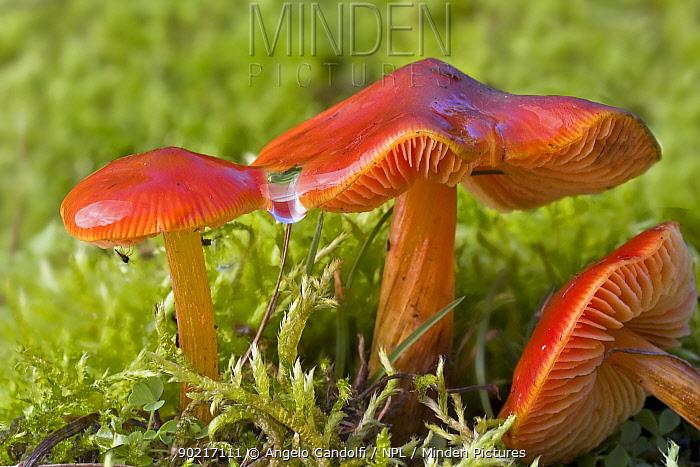 Three Scarlet Wax caps (Hygrophorus, Hygrocybe punicea) fungi  -  Angelo Gandolfi/ npl