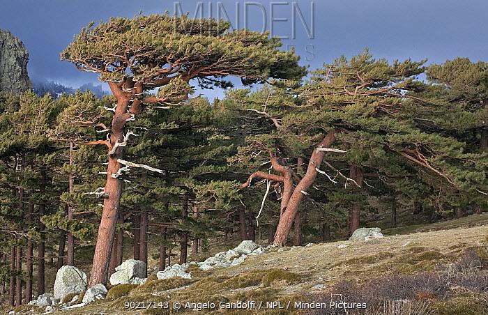 Corsican Black Pine trees at (Pinus nigra laricio corsicanus) Parc Naturel Regional de Corse, Corsica island, France, February 2010  -  Angelo Gandolfi/ npl