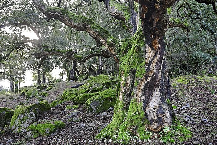A Cork Oak grove (Quercus suber) Corsica island, France, January 2010  -  Angelo Gandolfi/ npl